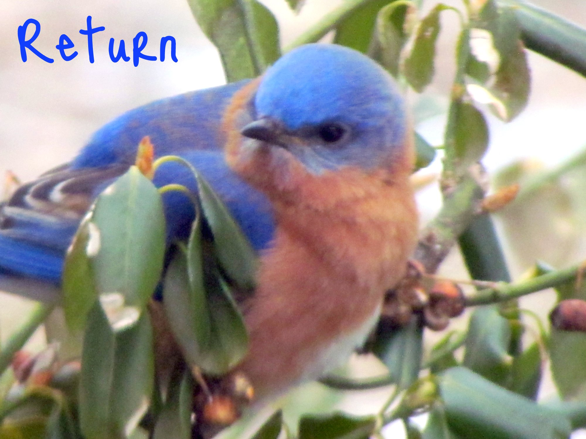 BD bluebirds 11