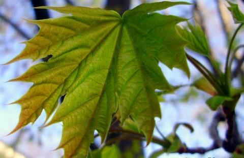 blood leaf