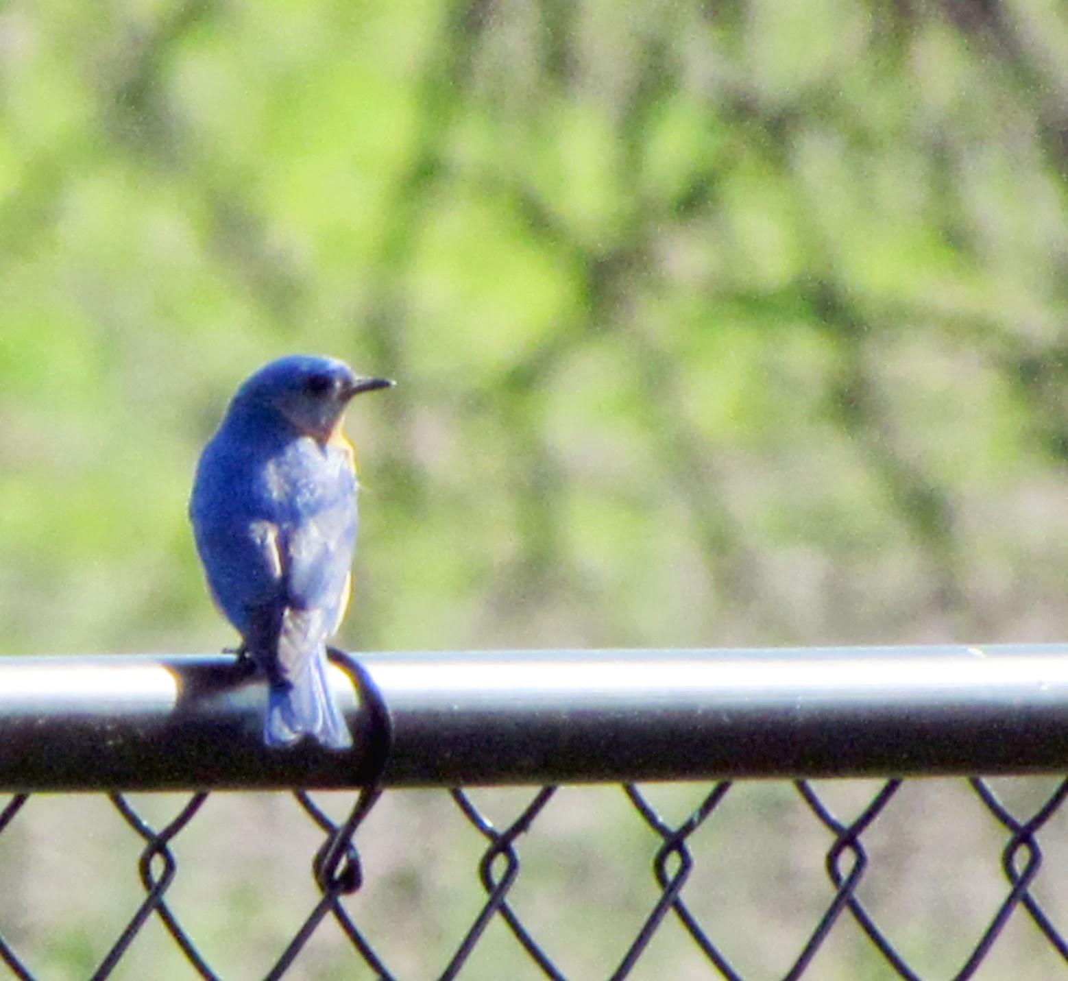 bluebirds of sadness