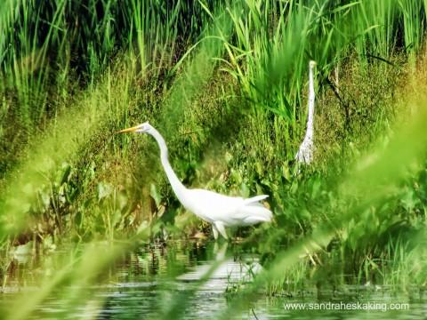 egret 7