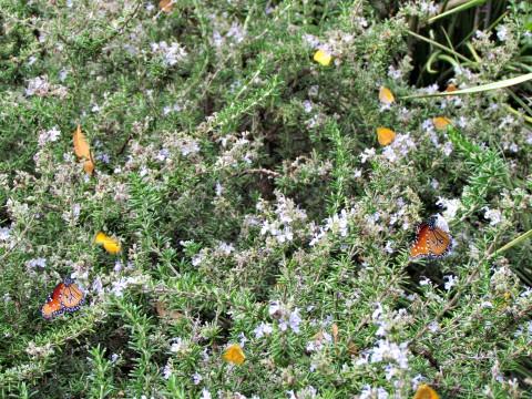 frio butterflies