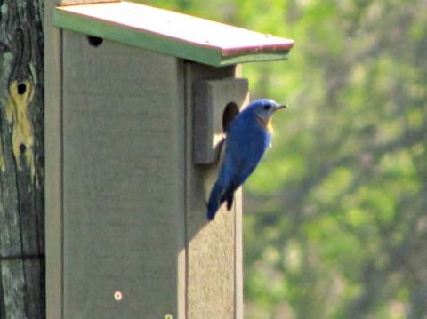 door bluebird
