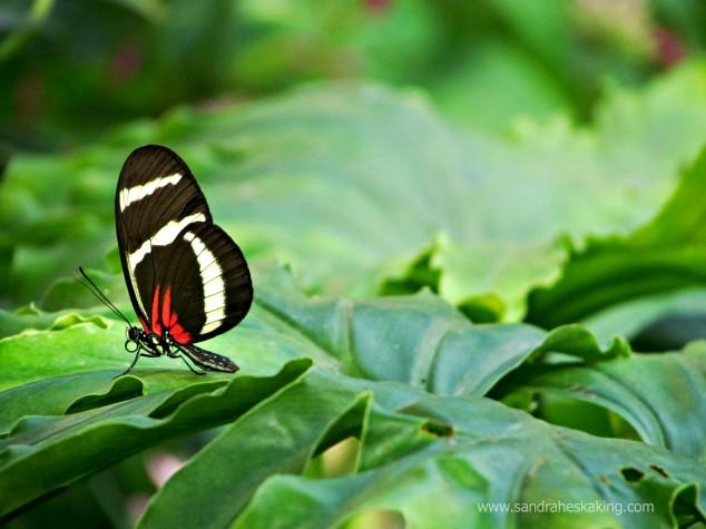 manifest butterfly