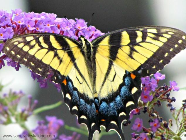 manifest butterfly3