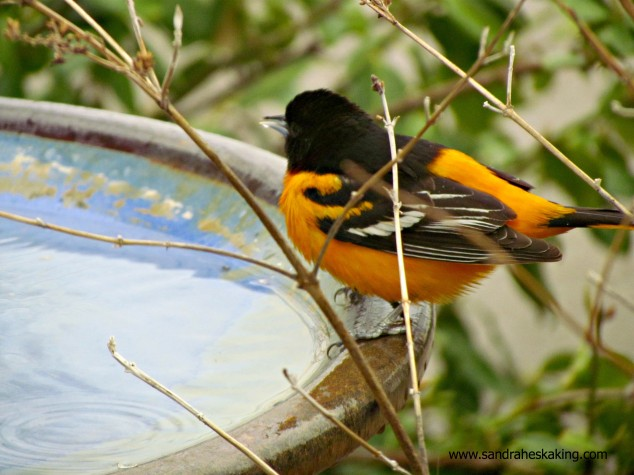 oriole on the birdbath