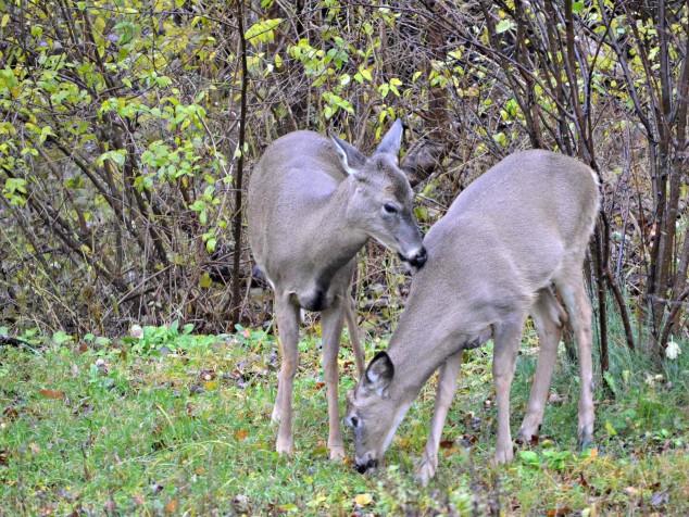 Hiland Cottage deer - villanelle