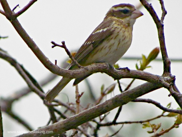 (rose-breasted grosbeak - female)