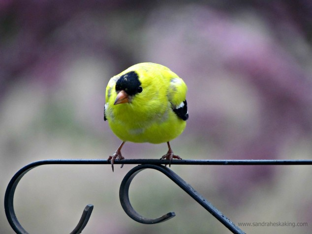 goldfinch - chubby