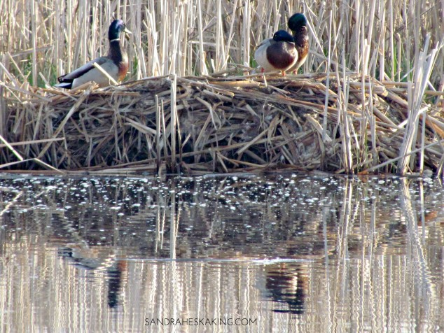 Mallards on Lake Abby 2
