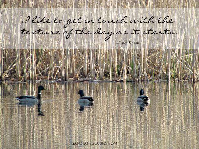 mallards on Lake Abby