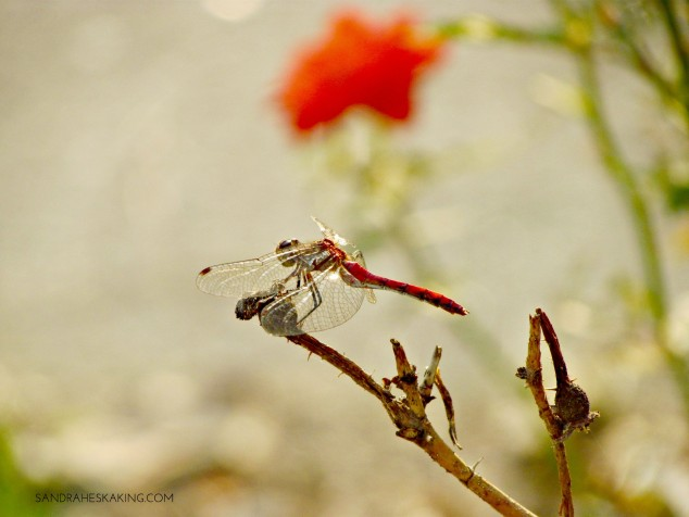 ROSE AND DRAGONFLY
