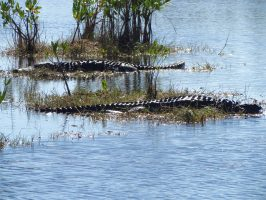 Dared: Hobnobbing With Alligators – and other Adventures