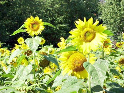 Upstream - sunflowers